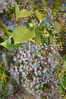 Ligustrum lucidum berries