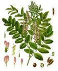 Glycyrrhiza glabra - Köhler–s Medizinal-Pflanzen-207