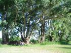 CPonte Eucalyptus