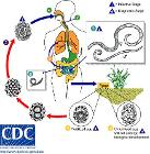 Ascariasis LifeCycle - CDC Division of Parasitic Diseases