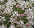 Asclepias fascicularis flowers 2003-06-05
