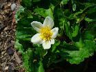 Caltha palustris alba 03