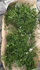 Mistletoe in France