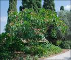 Plumeria-Bahai-Gardens-Akko-IZE-0041