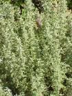 Artemisia pontica0