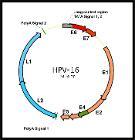 HPV-16 genome organization
