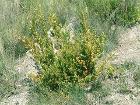 Buxus sempervirens0
