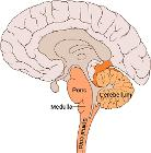 Brain bulbar region