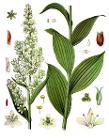 Veratrum lobelianum - Köhler–s Medizinal-Pflanzen-279