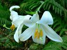 Lilium candidum 1