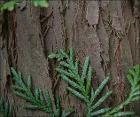 Riesenlebensbaumstmrp