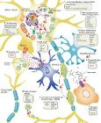 ALS Disease Pathology and Proposed Disease Mechanisms