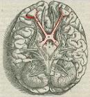 1543,Visalius'OpticChiasma