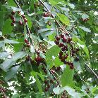 Prunus avium fruit