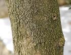 Boxwood Buxus sempervirens var. arborescens Bark 2597px