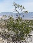 Creosote-bush Larrea tridentata