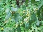 Buxus henryi