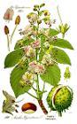 Illustration Aesculus hippocastanum0 clean