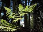 Tylerfinvold023 bracken ferns