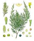 Juniperus sabina - Köhler–s Medizinal-Pflanzen-212