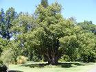 Cinnamomum camphora - Botanic Gardens