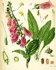 Digitalis purpurea Koehler drawing