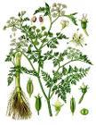 Oenanthe aquatica - Köhler–s Medizinal-Pflanzen-228