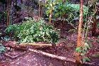 Privet - killed as weeds in an Australian rainforest