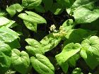 Epimedium versicolor01