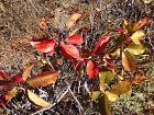 2014-10-03 15 15 35 Chokecherry showing autumn foliage coloration along the main ridge of the Diamond Mountains south of Diamond Peak, Nevada