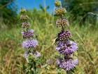 Мята болотная (Мята блошница) - Mentha pulegium - Pennyroyal (Squaw mint, Mosquito plant, Pudding grass) - Блатна мента - Polei-Minze (28506613866)