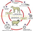 Echinococcus Life Cycle