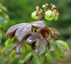 Bellyache Bush (Jatropha gossipifolia) in Hyderabad, AP W IMG 9473