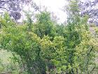 African boxthorn