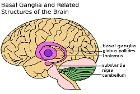 Basal Ganglia and Related Structures