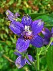 Delphinium staphisagria 002