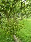 Mistletoe 1