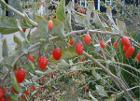 Lycium-barbarum-fruits