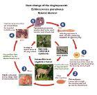 Echinococcus granulosus - Hydatid disease