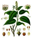 Croton tiglium - Köhler–s Medizinal-Pflanzen-197