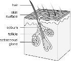 Hair follicle-en
