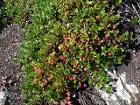 Arctostaphylos uva-ursi 25924