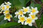 Fleurs de Frangipanier (Île de la Réunion) (4125134278)