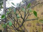 Plumeria rubra (Puerto de La Cruz)