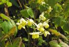 Elfenblume (Epimedium x versicolor)