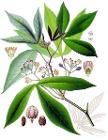 Manihot esculenta - Köhler–s Medizinal-Pflanzen-090