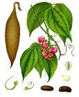Physostigma venenosum - Köhler–s Medizinal-Pflanzen-237