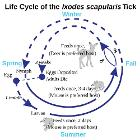 Deer Tick life cycle