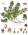 Arctostaphylos uva-ursi - Köhler–s Medizinal-Pflanzen-013