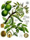 Juglans regia - Köhler–s Medizinal-Pflanzen-081